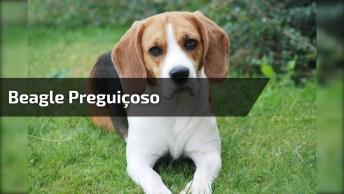 Beagle Descendo De Forma Relaxante A Rampinha Que Seu Dono Colocou!
