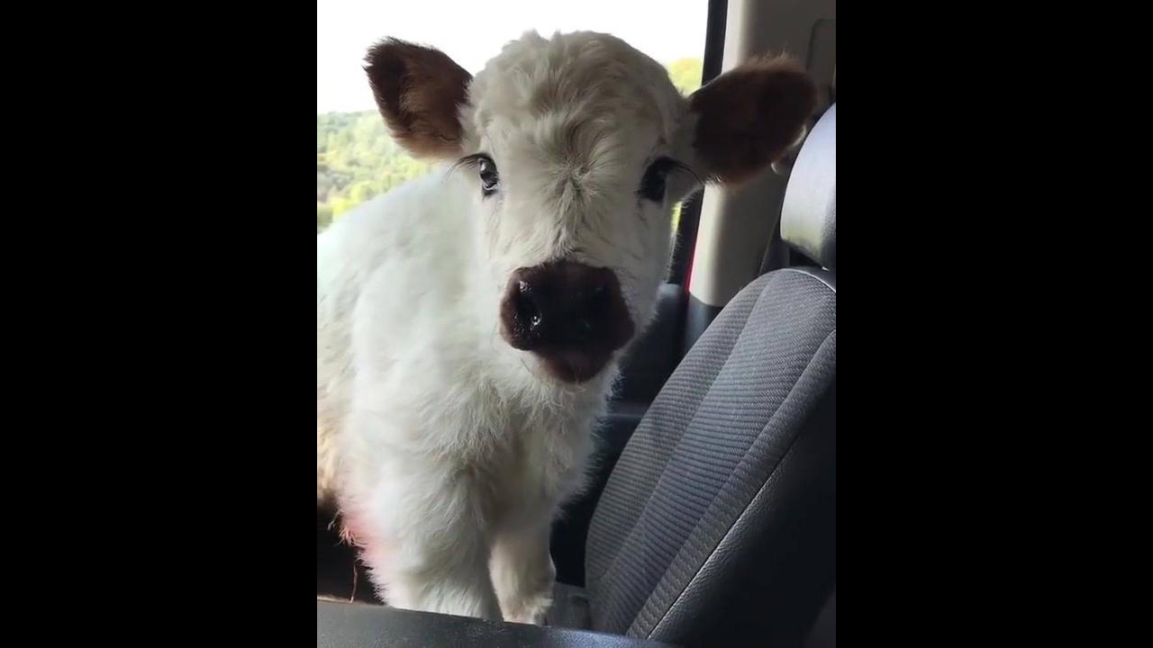 Bebê bezerro dentro de carro