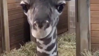 Bebê Girafa Mostrando A Linguinha, Que Criaturinha Mais Fofinha!