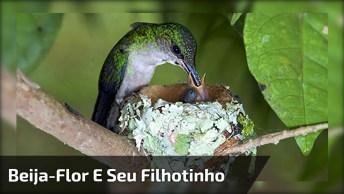 Beija-Flor Alimentado Seu Pequenino Filhotinho, Que Imagem Belíssima!