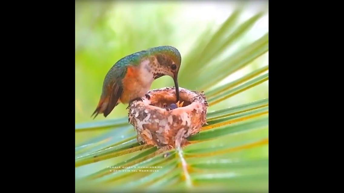 Beija-flor alimentando seus filhotes
