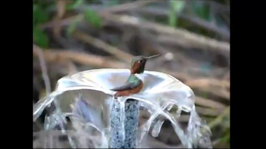 Beija-flor tomando banho