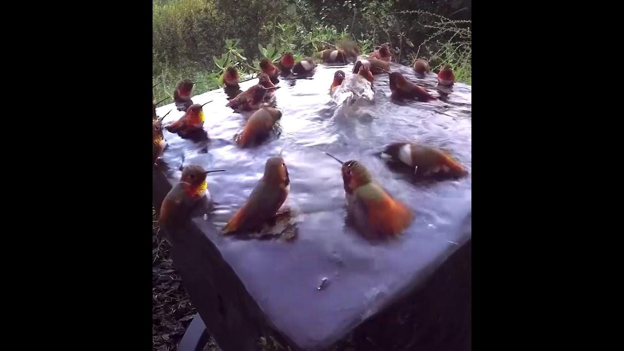 Beija-flores tomando banho em uma mina de água