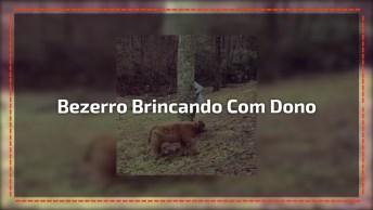Bezerro Tentando Achar O Dono Escondido Atrás Do Tronco Da Árvore!