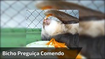 Bicho Preguiça Comendo Legumes, Olha Só A Coragem Desse Bichinho!