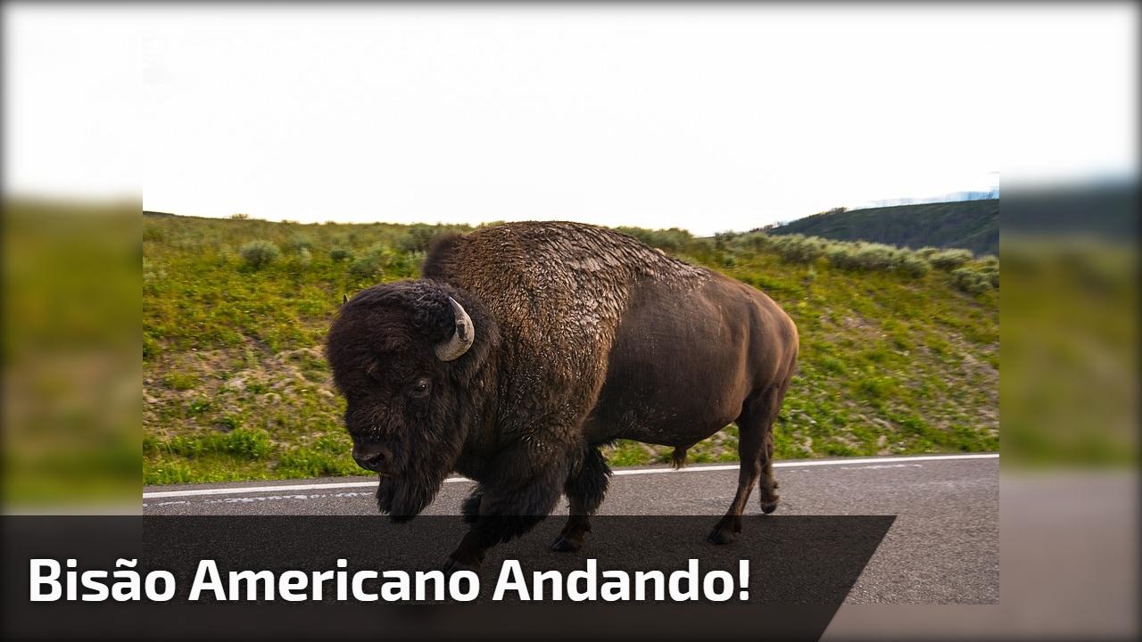 Bisão americano andando!