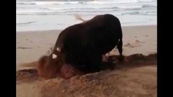 Boi Brincando Na Areia, Olha Só A Felicidade Deste Animal!