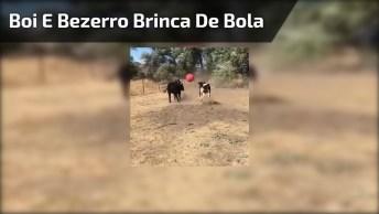 Boi E Bezerro Brincando De Bola, Olha Só Que Imagem Mais Linda!