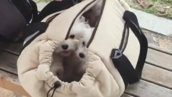 Bolça Cheia De Cachorrinhos, Olha Só A Carinha Deles, É Muito Bonitinho!