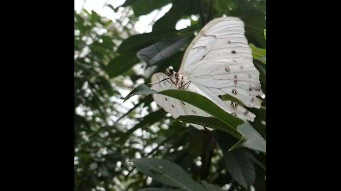 Borboleta branca voando, uma beleza inigualável da natureza