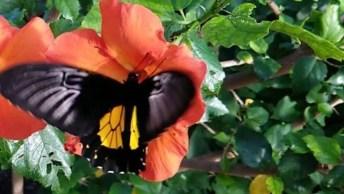 Borboleta Se Alimentando Do Néctar De Uma Flor De Uma Flor De Hibisco!