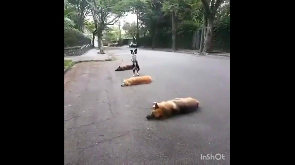 Border collie brincando de pular os irmãos