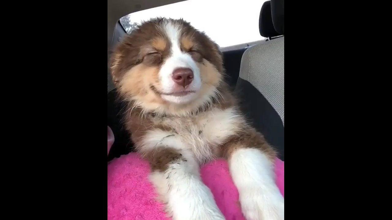 Border collie cochilando dentro do carro