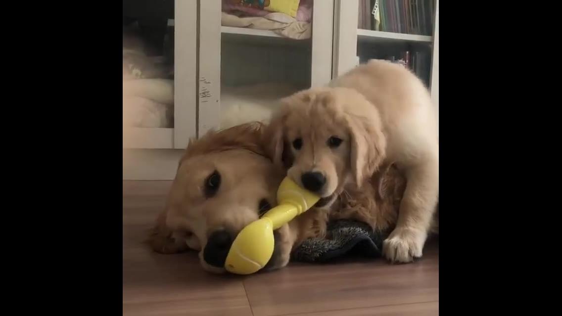 Brincadeira de mamãe cachorra e filhote