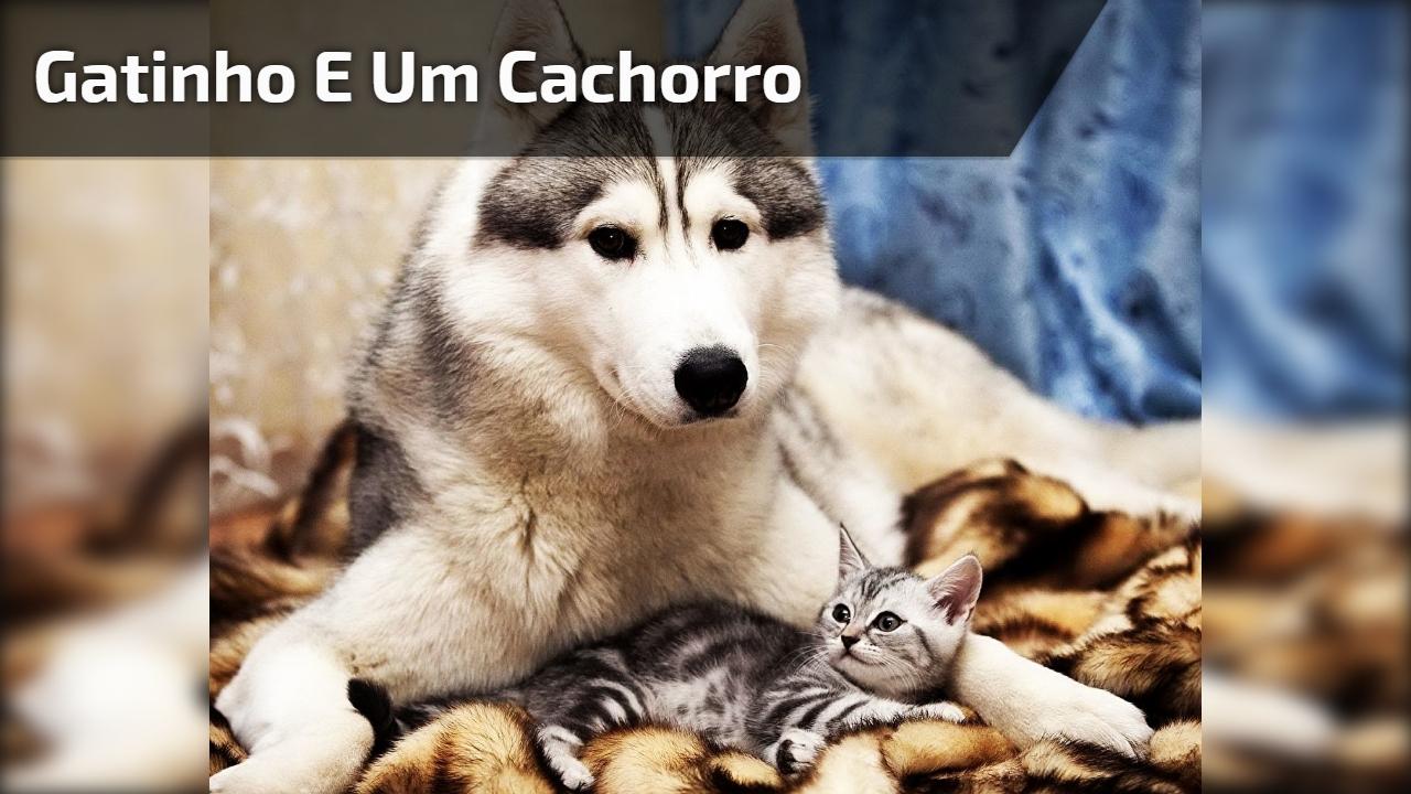 Brincadeira entre um gatinho e um cachorro bem grande, que fofura!