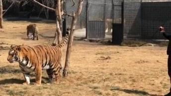 Brincando Com Onças E Tigres, Tem Que Ter Muita Confiança Para Ficar Ali!