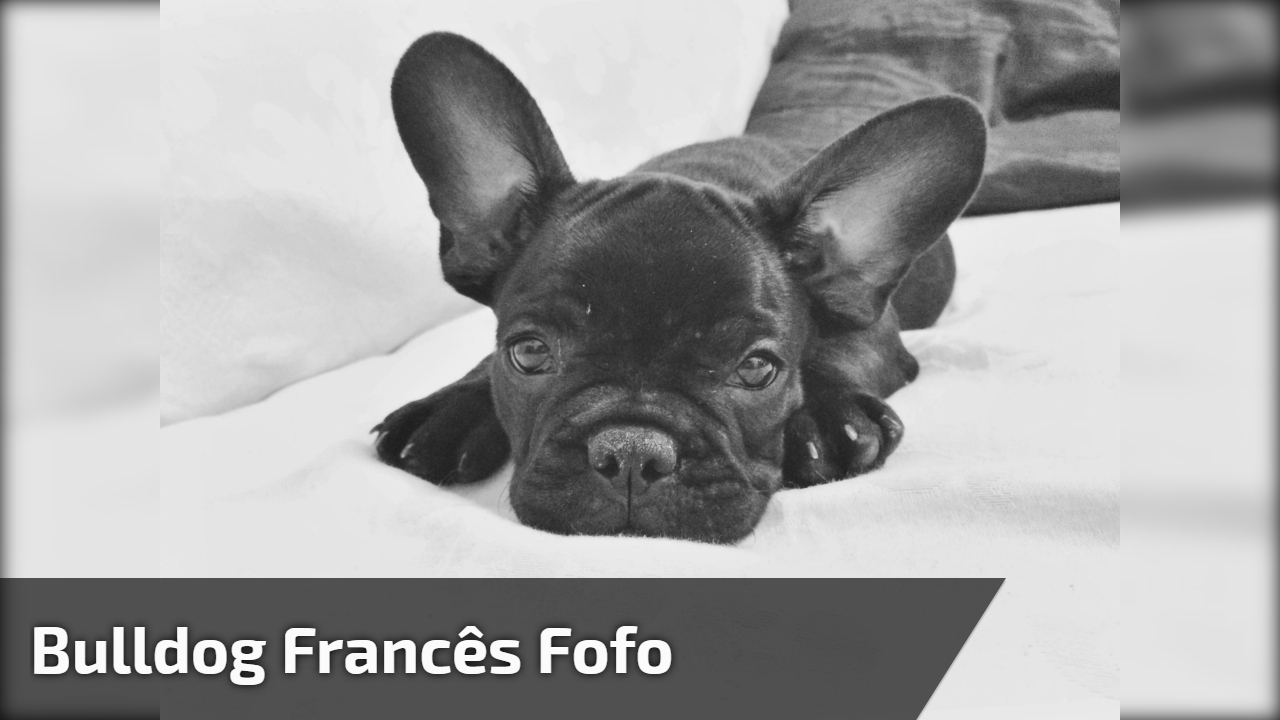 Bulldog Francês fofo