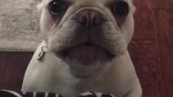 Bulldog Reclamando Para Mamãe, Olha Só O Drama Que Este Amiguinho Faz!