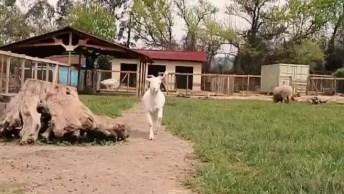 Cabra De Estimação, Veja Como Ela Adora Um Carinho No Queixo!