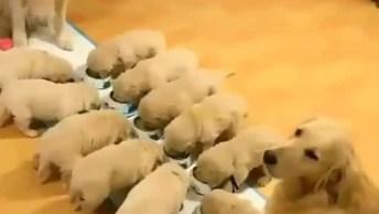 Cachorra E Cachorro Vigiando Filhotes Na Hora Do Jantar, Veja Que Fofos!