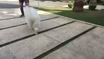 Cachorra Faz Drama Na Hora De Pular Para Entrar No Colo, Confira!