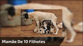 Cachorra Mamãe De 10 Filhotes Amamentando, É Muito Amor, Que Fofura!