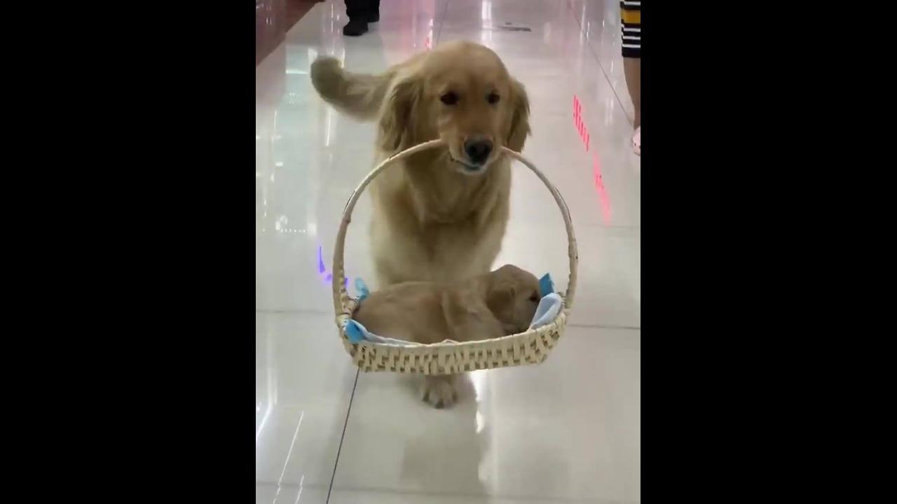 Cachorra passeando com seu filhote dentro de uma cestinha