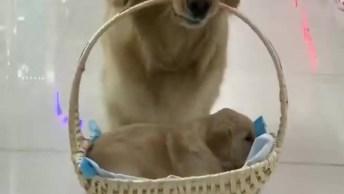 Cachorra Passeando Com Seu Filhote Dentro De Uma Cestinha!