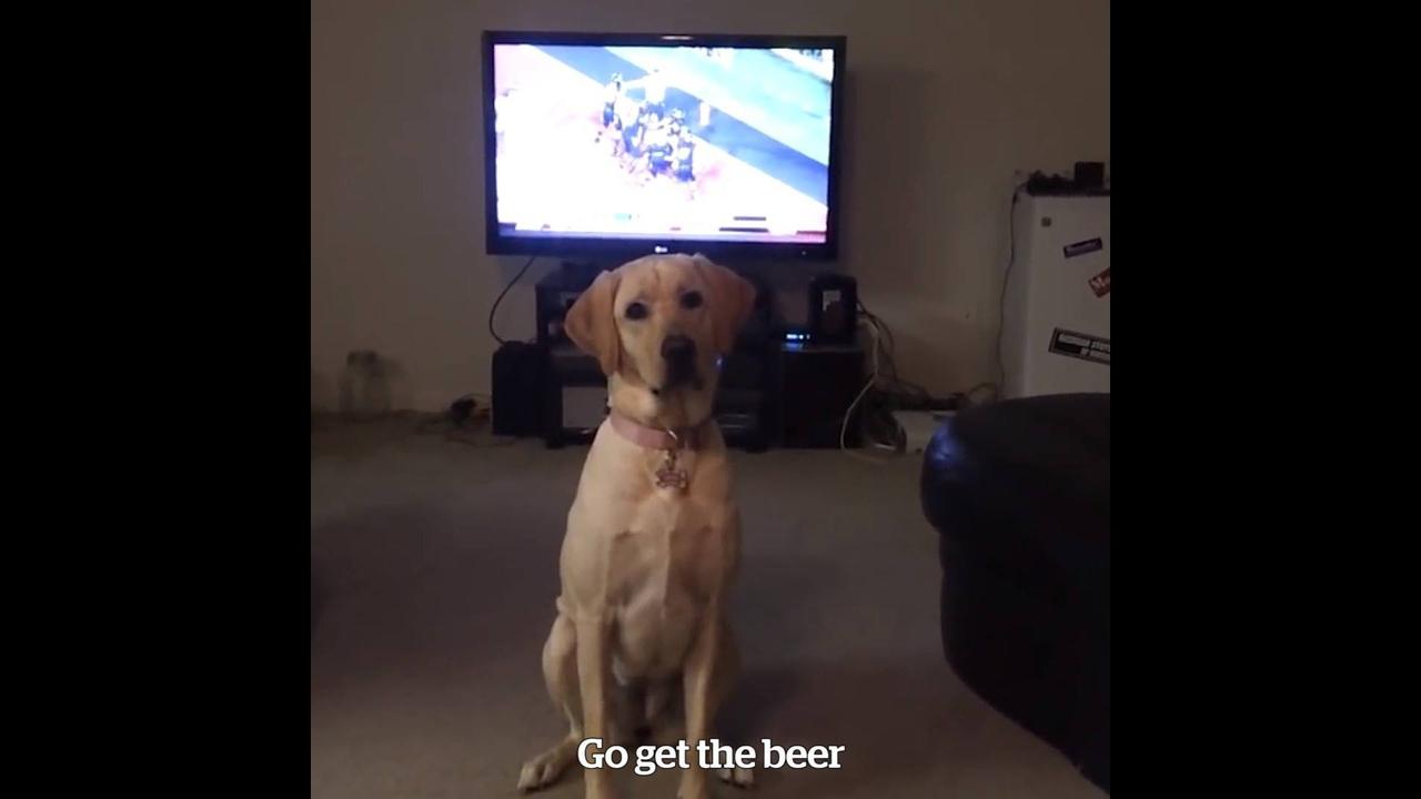 Cachorra pega cerveja para o dono