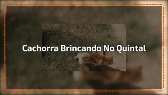 Cachorra Shiba Inu Brincando No Quintal, Olha Só A Carinha Boa Dela!