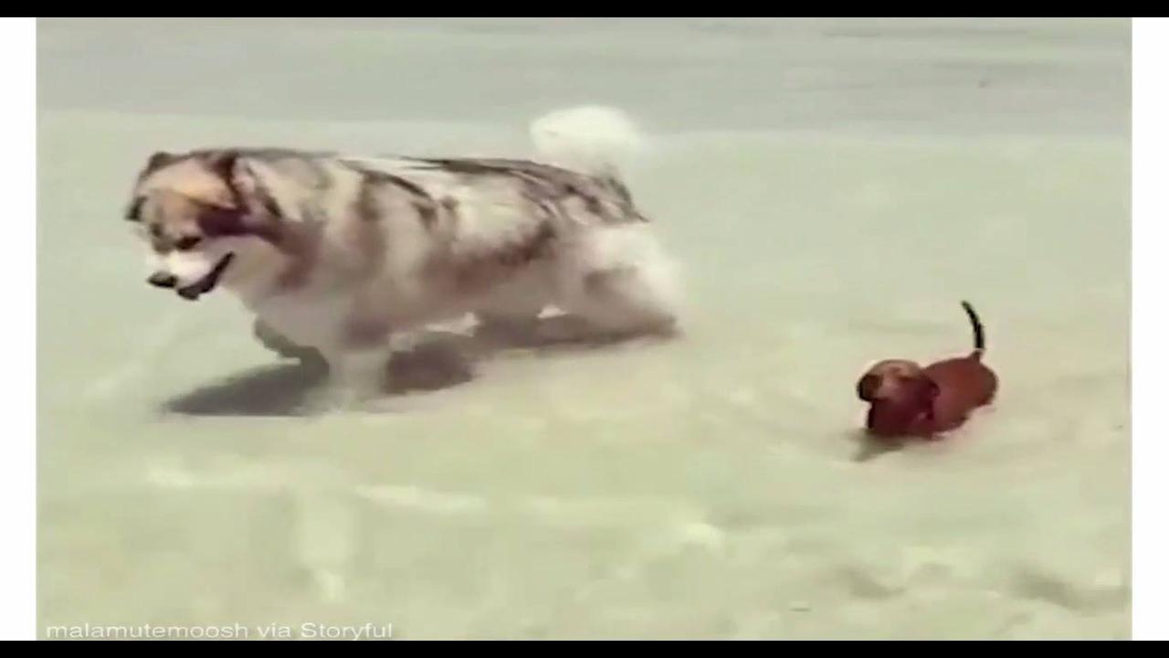 Cachorrão e cachorrinho andando pelas águas do mar