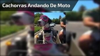 Cachorras Dando Uma Volta De Moto Com Seu Dono, Olha Só Que Fofas!