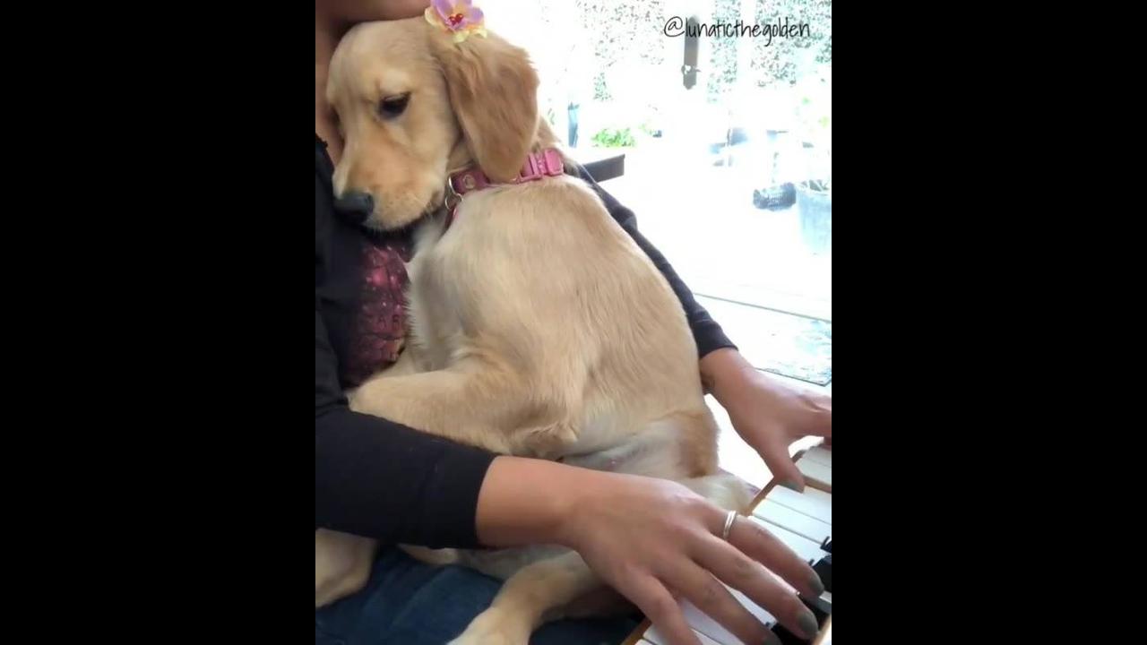 Cachorrinha adora escutar sua dona tocar piano