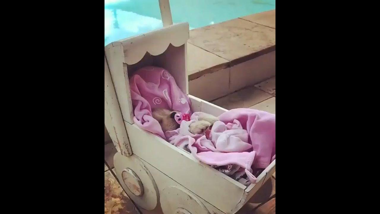 Cachorrinha bebê em carrinho com chupeta e cobertinha rosa