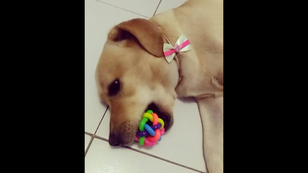 Cachorrinha com preguiça de brincar