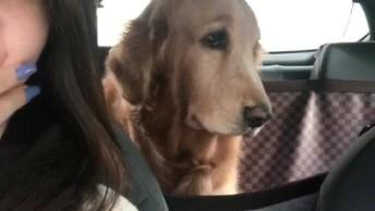 Cachorrinha Golden Retriever Com Cara Emburrada Por Causa De Acordar Cedo!