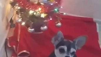 Cachorrinha Sabe Acender A Luz Da Árvore De Natal, Olha Só Que Fofa!
