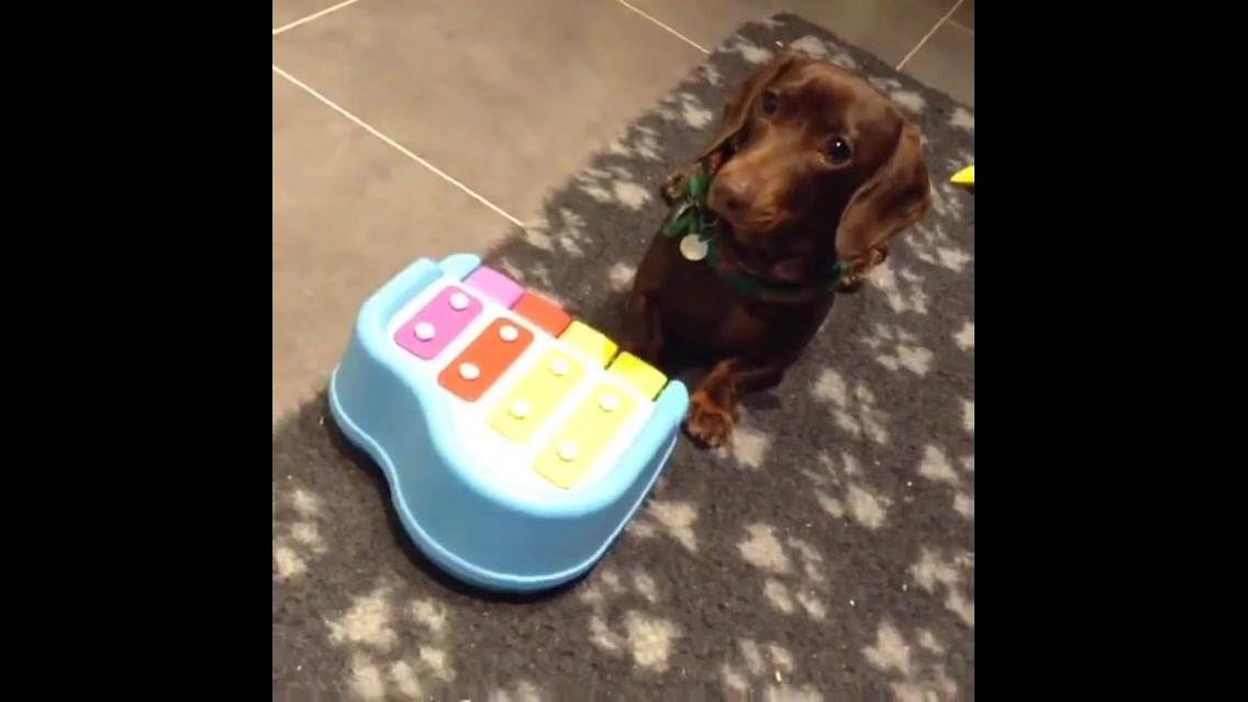Cachorrinha tocando musiquinha em brinquedinho