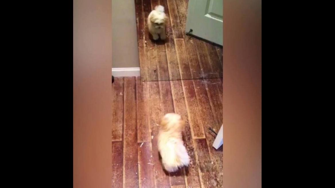 Cachorrinho acha que seu reflexo é outro cachorro, hahaha! Olha só que fofura!