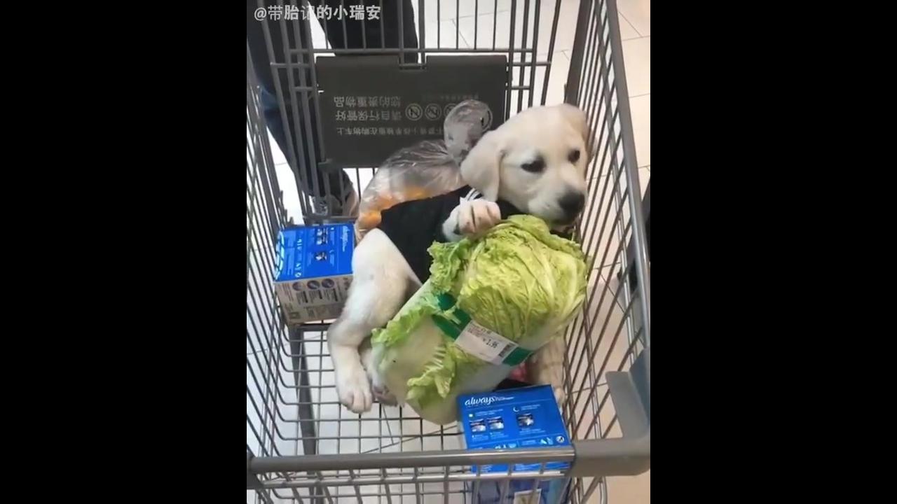 Cachorrinho adorável comendo alface no carrinho do supermercado