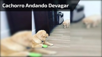 Cachorrinho Andando Devagar Para 'Caçar' Sua Mãe, Que Fofura De Cachorro!