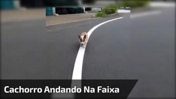 Cachorrinho Andando Na Faixa, Olha Só A Animação Deste Amiguinho!