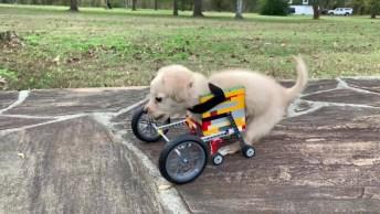 Cachorrinho Aprendendo A Andar Com Cadeirinha De Rodas, Veja Que Lindinho!