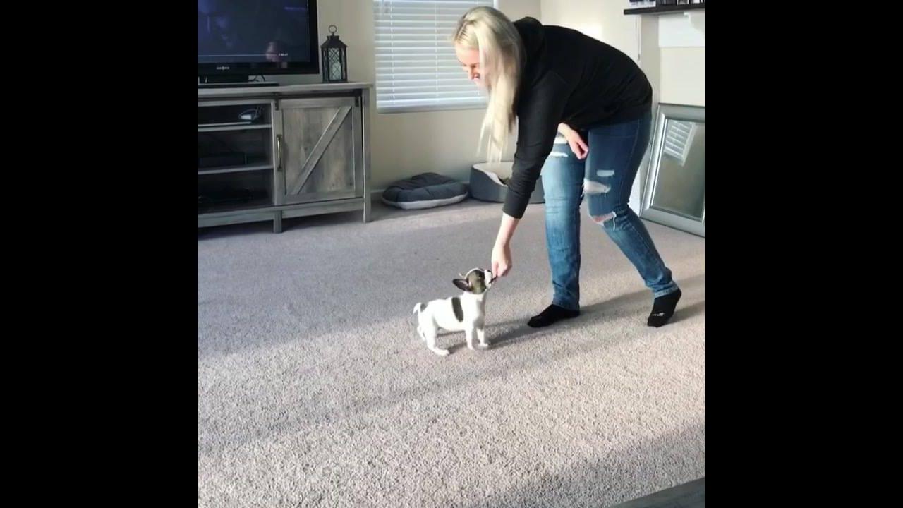 Cachorrinho aprendendo a dar a patinha