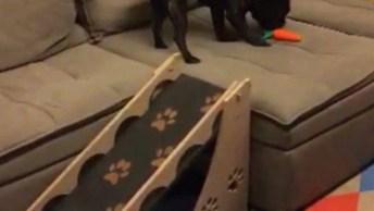 Cachorrinho Aprendendo A Usar A Rampa Para Subir No Sofá!