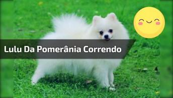 Cachorrinho Bola De Pelo Branca Correndo, Que Fofura, Confira!