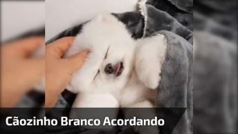 Cachorrinho Branco Acabando De Acordar, Ele É Muito Fofo!