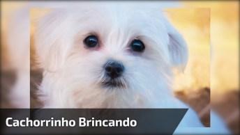Cachorrinho Branco Brincando De 'Ser' A Bola Da Sinuca, Ele Caiu De Cabeça!
