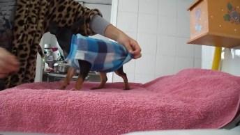 Cachorrinho Bravo Colocando Roupinha, Esta Com Frio, Mas Não Quer Roupa Hahaha!