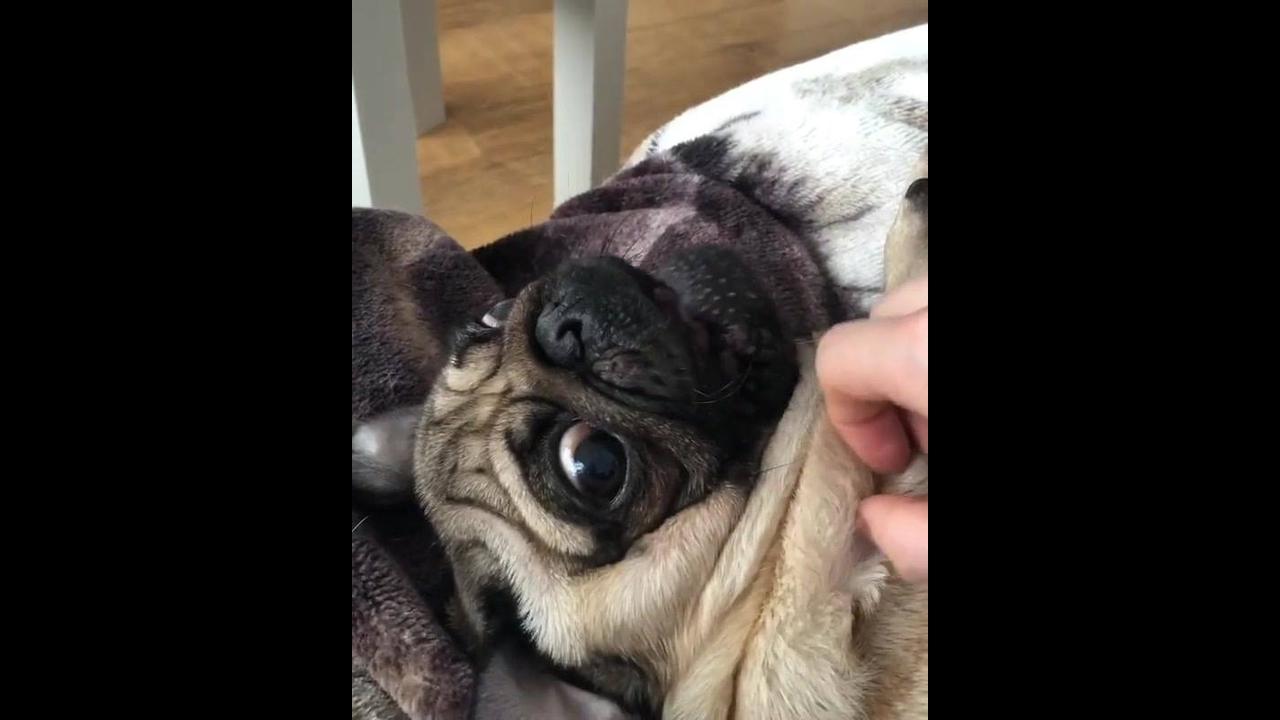 Cachorrinho brincando com a mão de um humano